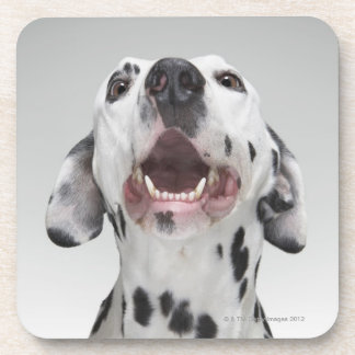 Close up of a Dalmatian dog Beverage Coasters