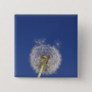 Close-up of a dandelion 15 cm square badge