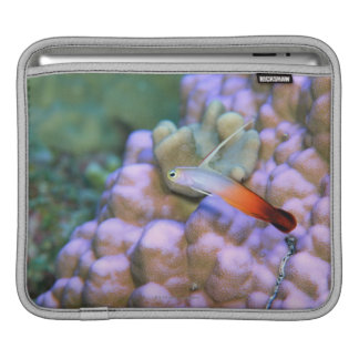 Close up of a fire dart fish, Okinawa, Japan iPad Sleeve