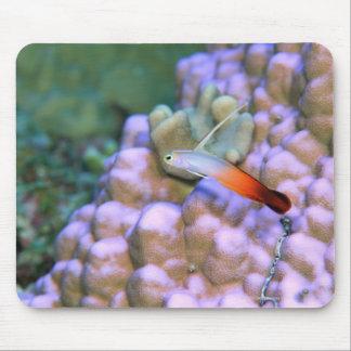 Close up of a fire dart fish, Okinawa, Japan Mouse Mat