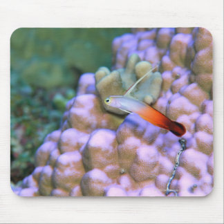 Close up of a fire dart fish, Okinawa, Japan Mouse Pad