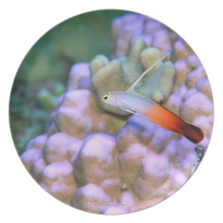 Close up of a fire dart fish, Okinawa, Japan Party Plate