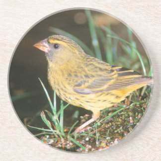 Close-Up Of A Forest Canary (Serinus Scotops) Coaster