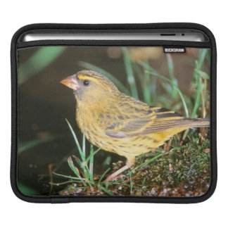 Close-Up Of A Forest Canary (Serinus Scotops) iPad Sleeve