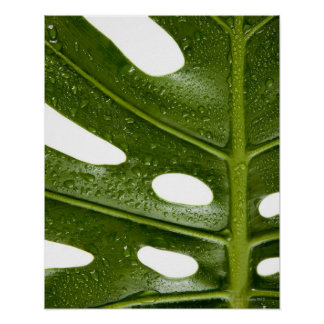 Close up of a green palm leaf with water beaded poster