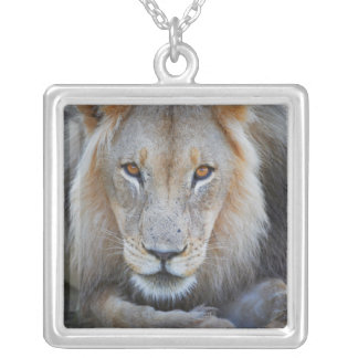 close up of a  male lion, Panthera leo, Necklace