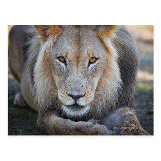 close up of a  male lion, Panthera leo, Postcard