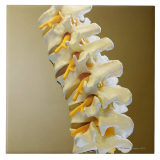 Close-up of a medical model of vertebrae of the tile
