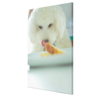 Close-up of a miniature poodle eating food canvas print