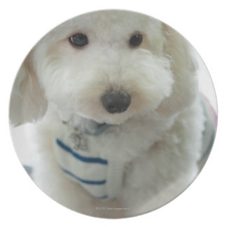 Close-up of a miniature poodle plate