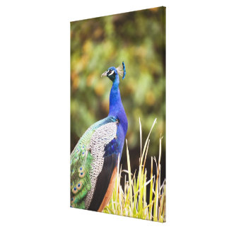 Close-up of a peacock canvas print