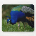 Close-up of a peacock mouse pad