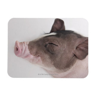 Close-up of a piglet's head, smiling rectangular photo magnet