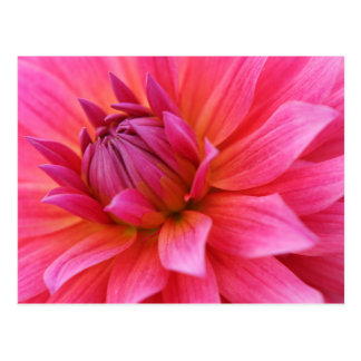 Close-Up of a Pink Dahlia Postcard