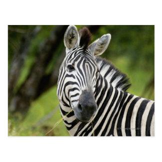 Close-up of a Plains zebra (Equus burchellii) in Postcard