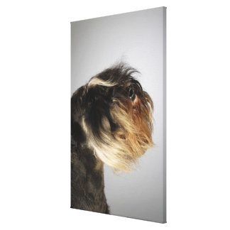 Close-up of a Schnauzer Canvas Print