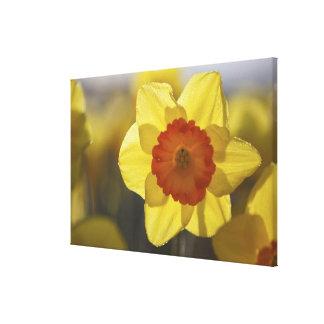 Close Up of a Yellow/Orange Daffodil Canvas Print