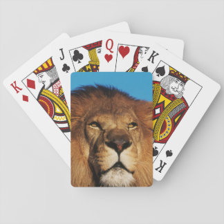 Close-up of African Lion Playing Cards