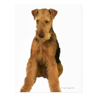 Close up of an airedale terrier postcard