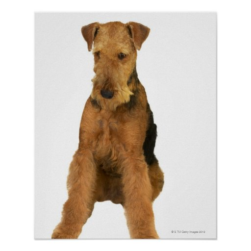 Close up of an airedale terrier posters