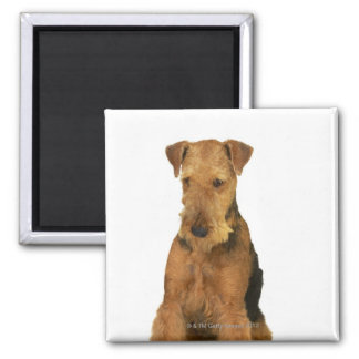 Close up of an airedale terrier square magnet