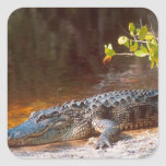 Close up of an american alligator at the J.N. Square Sticker