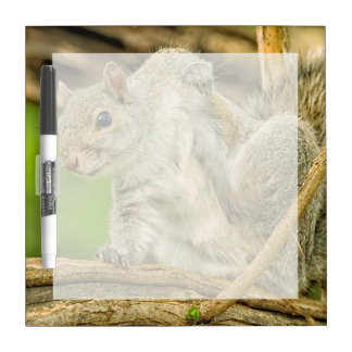 Close-up of an Eastern Gray Squirrel scratching Dry Erase Board