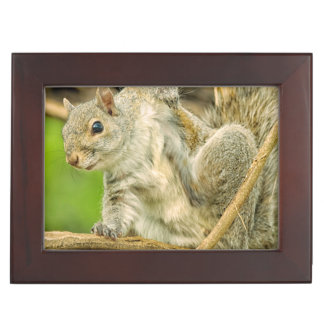 Close-up of an Eastern Gray Squirrel scratching Keepsake Box