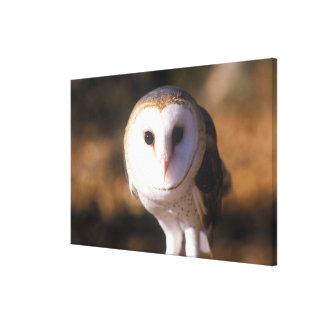 'Close-up of Barn Owl, Land Between Lakes, KY' Canvas Print