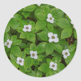 Close-up of bunchberry with white flowers classic round sticker