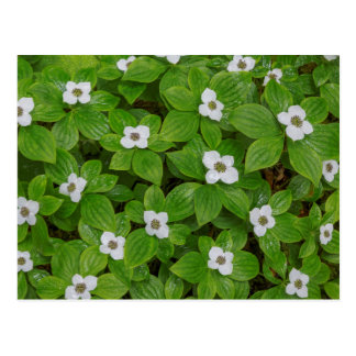 Close-up of bunchberry with white flowers postcard