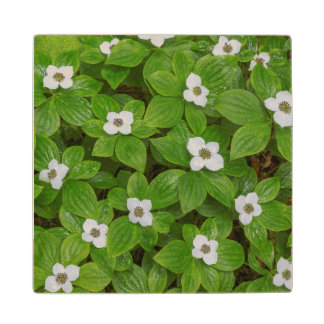 Close-up of bunchberry with white flowers wood coaster