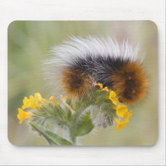 Close-up of caterpillar on flower. Credit as: Mouse Mat