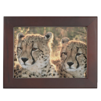 Close-up of Cheetahs Keepsake Box