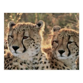 Close-up of Cheetahs Postcard