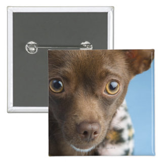 Close-up of chihuahua with furry collar 15 cm square badge