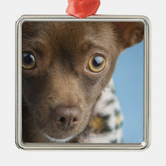 Close-up of chihuahua with furry collar christmas ornament
