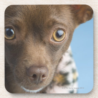 Close-up of chihuahua with furry collar coaster