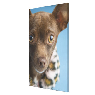 Close-up of chihuahua with furry collar stretched canvas prints