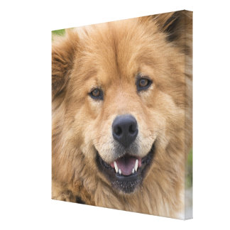 Close up of chow mix dog outdoors. canvas print
