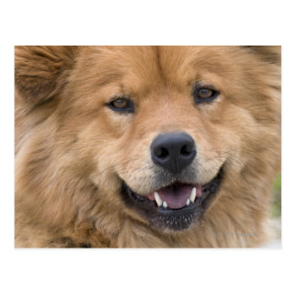 Close up of chow mix dog outdoors postcard