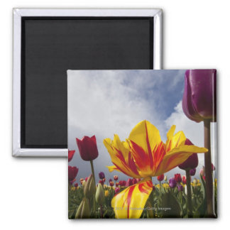 Close Up of Colorful Blooming Tulips In Oregon Square Magnet