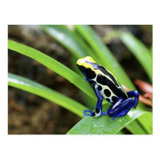 Close-up of Costa Rican Cobalt Dyeing Dart Frog Postcard