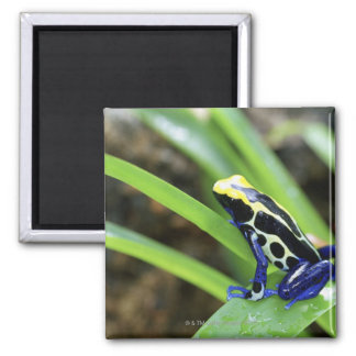 Close-up of Costa Rican Cobalt Dyeing Dart Frog Square Magnet