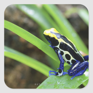 Close-up of Costa Rican Cobalt Dyeing Dart Frog Square Sticker
