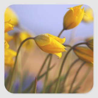 Close-up of daffodils square sticker