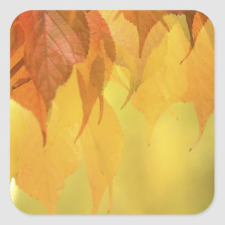 Close-up of Fall Leaves on a Branch Square Sticker