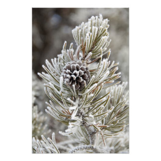 Close-up of frozen pine cone, Yellowstone Photo Print