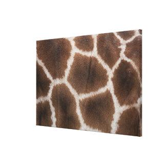 Close up of Giraffes Skin Canvas Print