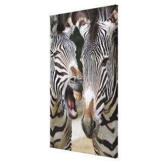 close-up of head of zebras, Equus Sp., Berlin Canvas Print